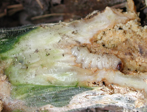 Squash borer from killed plant