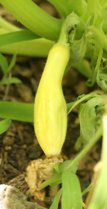 Deformed squash fruit from inadequate pollination