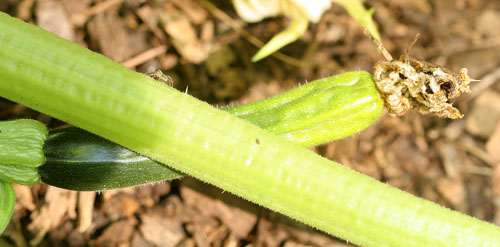 Poorly pollinated zucchini