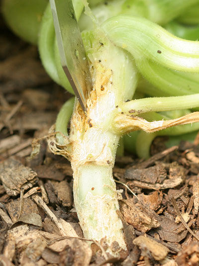 Careful cut to find squash borer