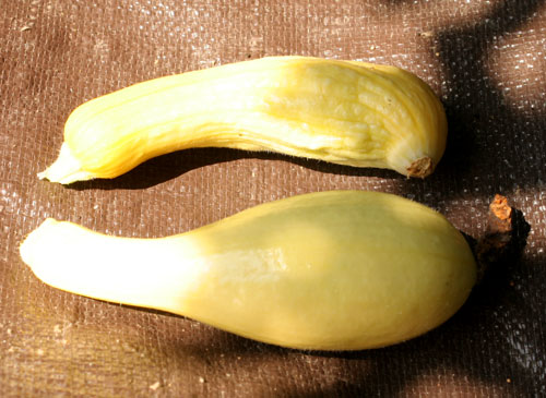 Partly and fully pollinated squash