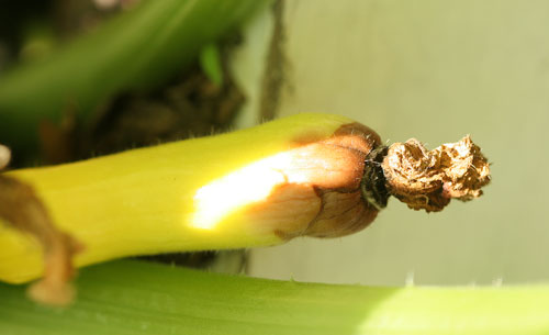 Squash fruit abortion due to inadequate pollination
