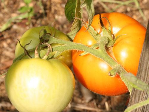 Marion tomato