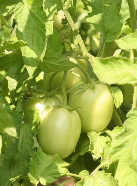 Rio Grande tomato