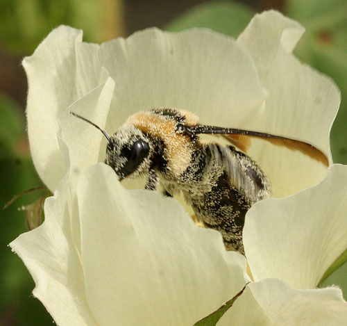Bumblebee in cotton blossom