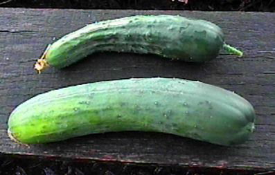 Comparison of slicer cucumber pollination