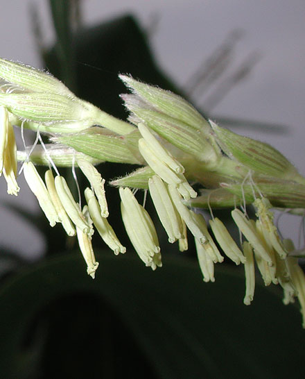 Corn anthers