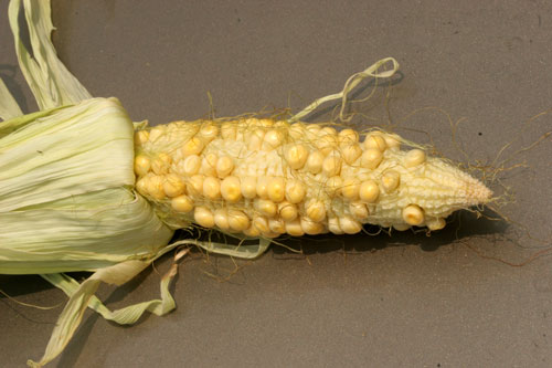 Corn pollination failure