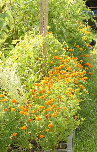 Marigolds add to the biodiversity of the garden