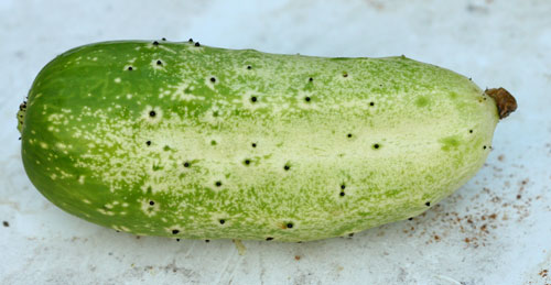 A perfectly pollinated pickle cucumber
