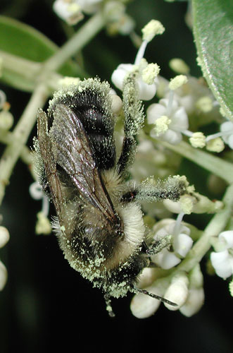A pollen-coated bumblebee