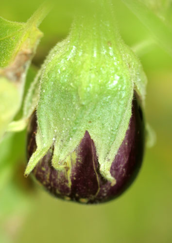 Young eggplant fruit
