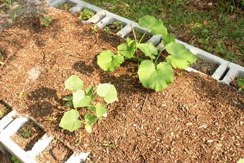Growing squash is nearly weed free.
