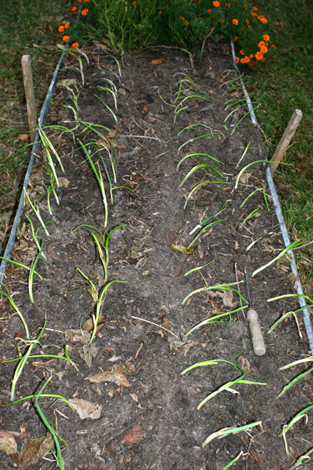 Dried up onions are set out in the garden