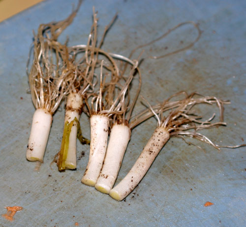 Green onion - cutoff bulbs