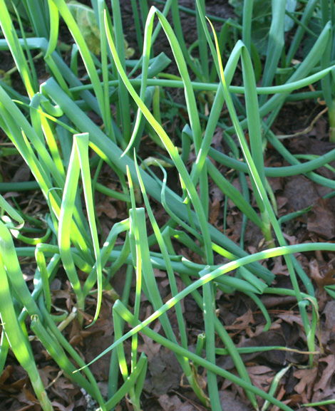 Onion regrowth