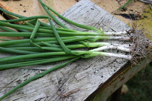 Green onion harvest