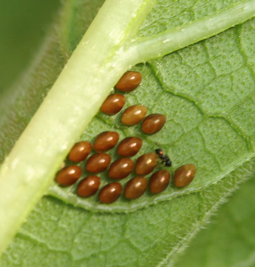 Squash bug eggs, usually on the bottom of the leaves